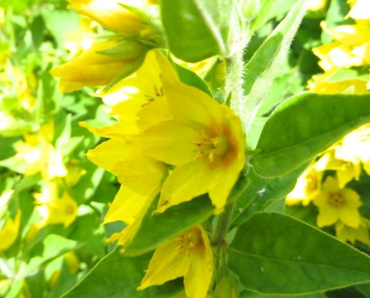 Summer garden flowers (Dorset) 13