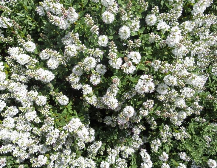 Summer garden flowers (Dorset) 14