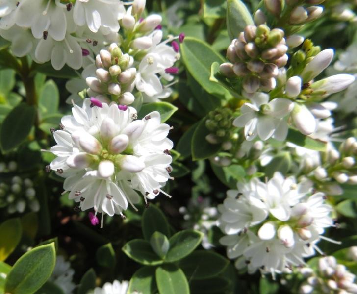 Summer garden flowers (Dorset) 15
