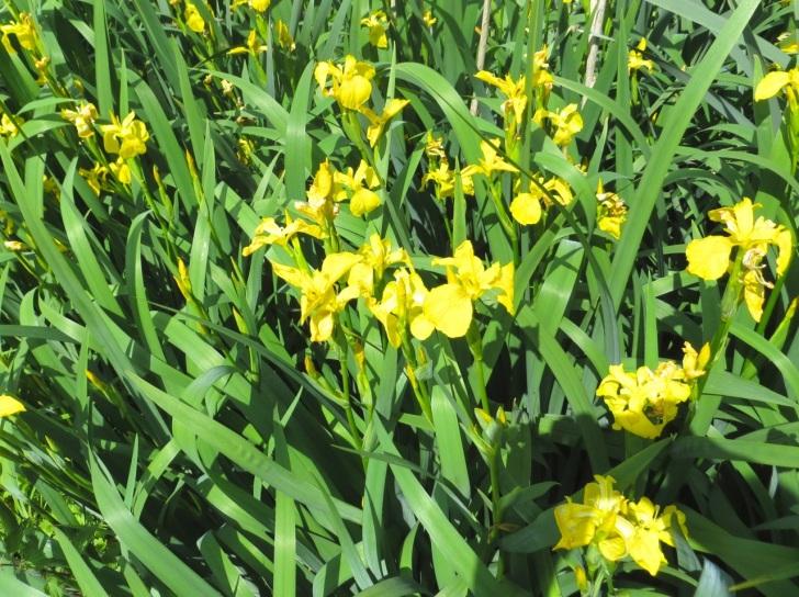 Summer garden flowers (Dorset) 17
