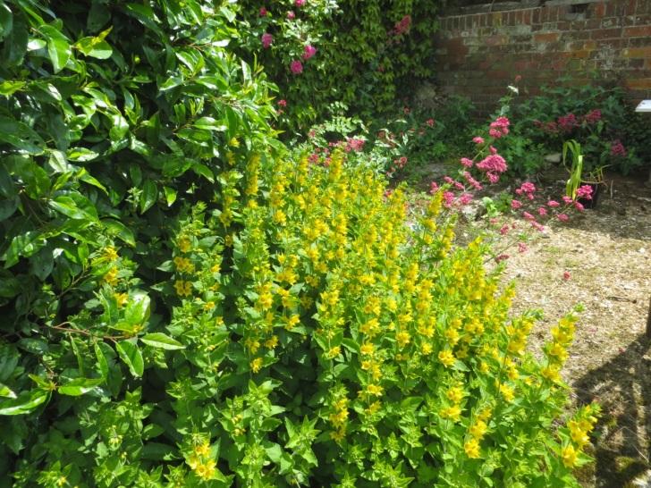 Summer garden flowers (Dorset) 18