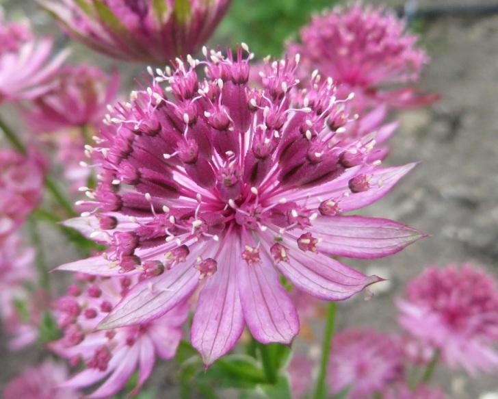 Summer garden flowers (Dorset) 20
