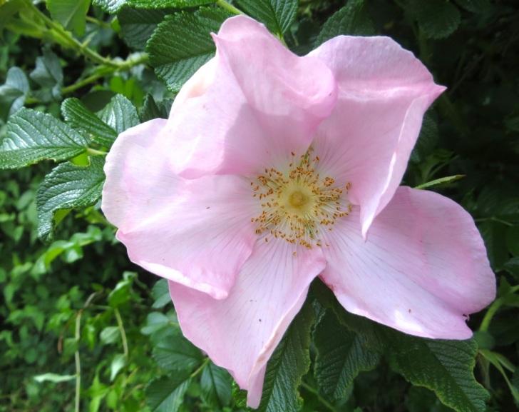 Summer garden flowers (Dorset) 27