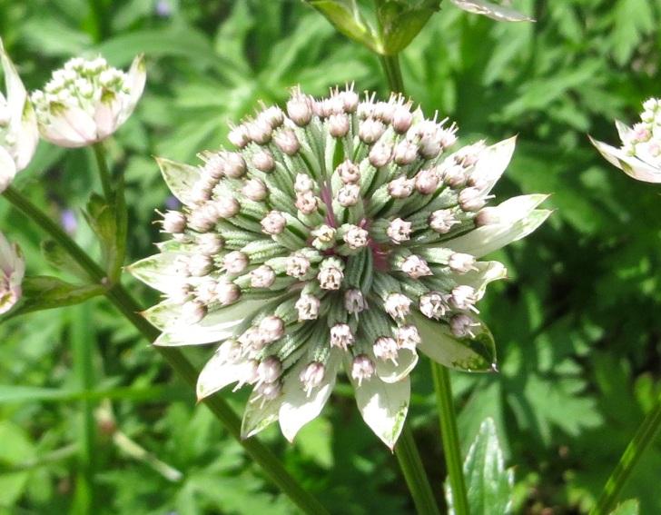 Summer garden flowers (Dorset) 5