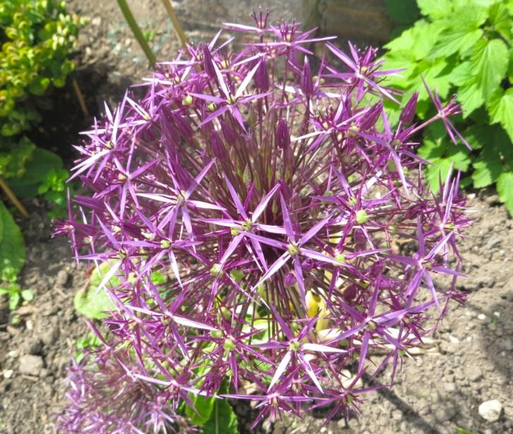 Summer garden flowers (Dorset) 6