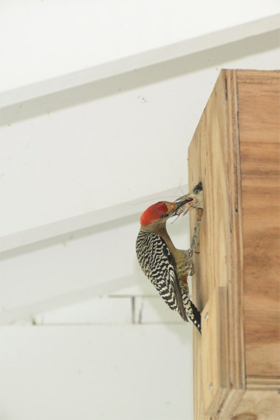 West Indian Woodpecker TS
