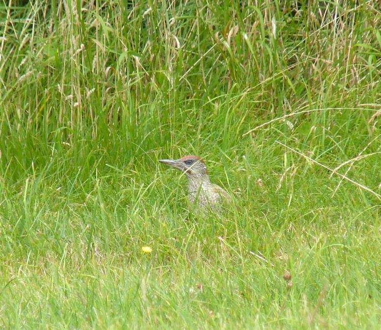 Green Woodpecker, Dorset 1