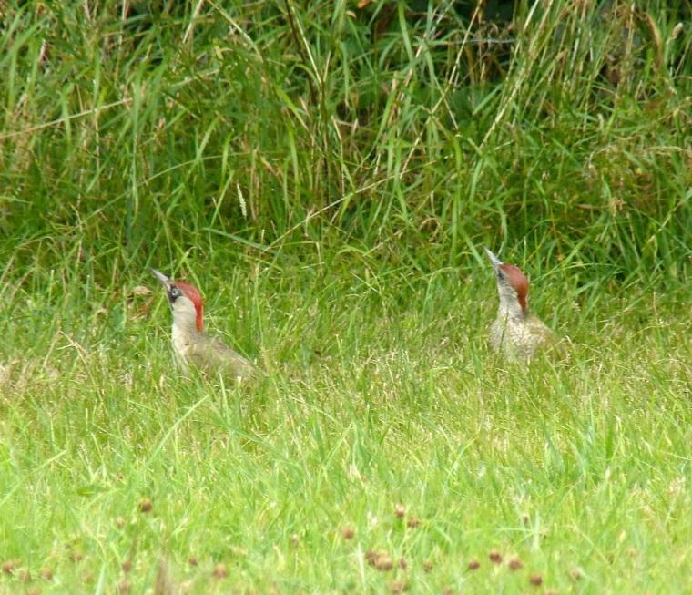 Green Woodpecker, Dorset 10