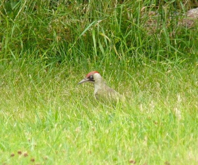 Green Woodpecker, Dorset 2