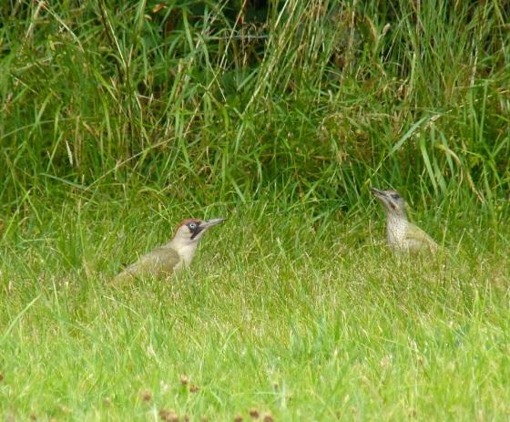 Green Woodpecker, Dorset 3