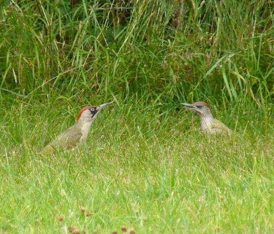 Green Woodpecker, Dorset 4
