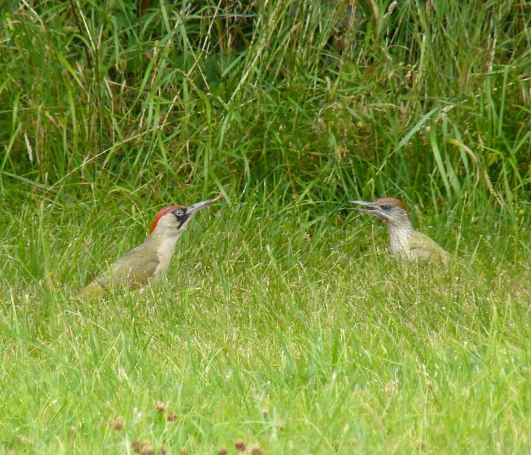 Green Woodpecker, Dorset 4