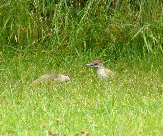 Green Woodpecker, Dorset 5