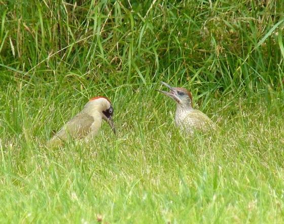 Green Woodpecker, Dorset 6