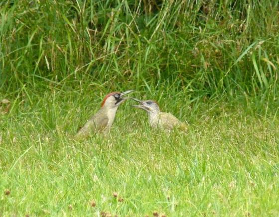 Green Woodpecker, Dorset 7