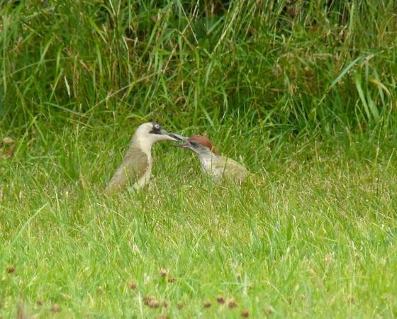 Green Woodpecker, Dorset 8