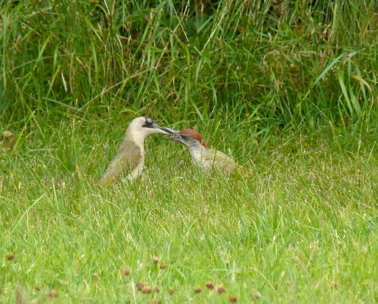 Green Woodpecker, Dorset 8