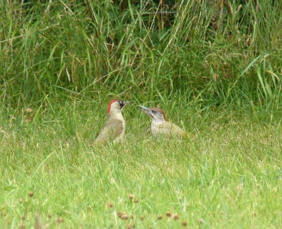 Green Woodpecker, Dorset 9