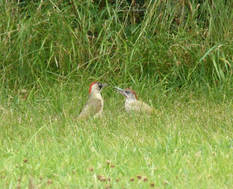 Green Woodpecker, Dorset 9