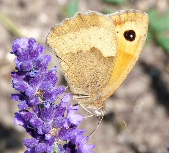 Meadow Brown Butterfly, Dorset 1