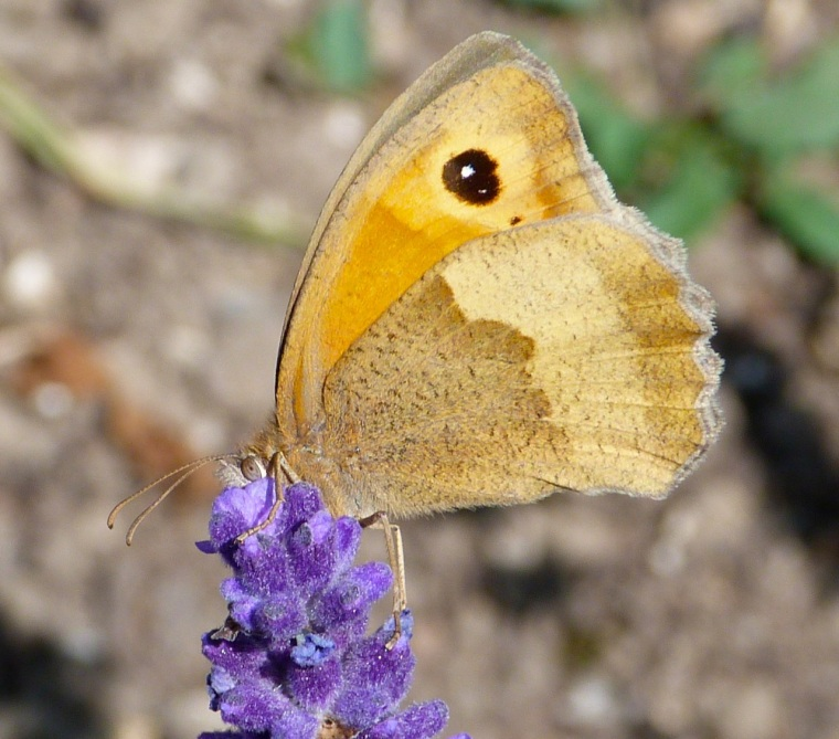 Meadow Brown Butterfly, Dorset 4