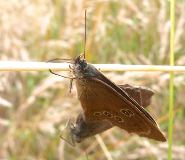 Ringlet Butterflies, Oxburgh Hall 1