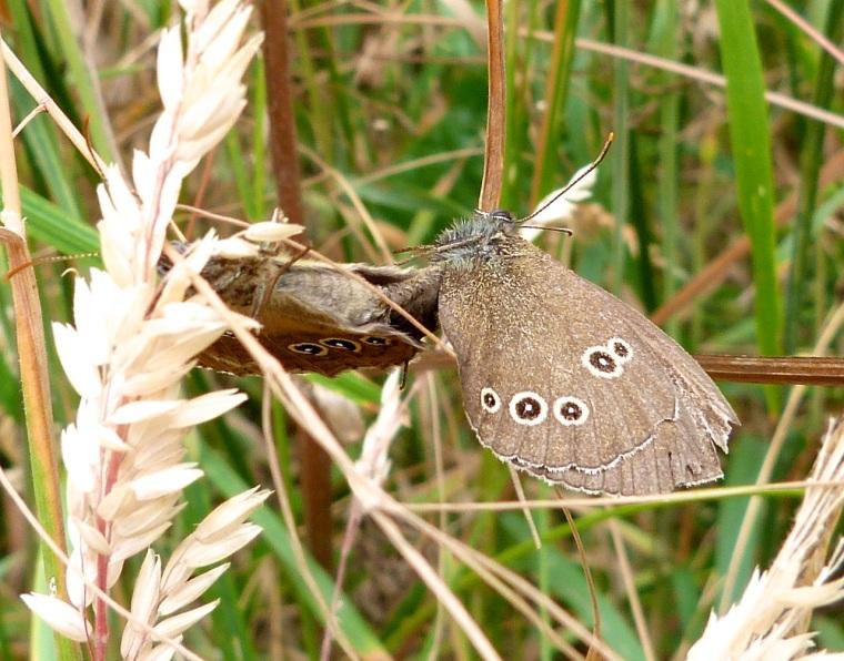 Ringlet Butterflies, Oxburgh Hall 2