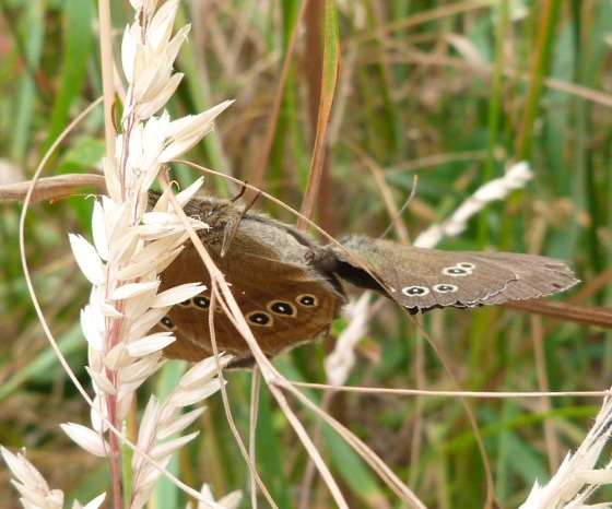 Ringlet Butterflies, Oxburgh Hall 3