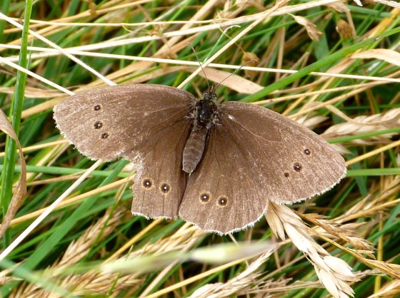 Ringlet Butterflies, Oxburgh Hall 4