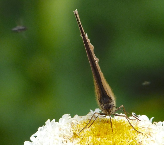 Ringlet Butterflies, Oxburgh Hall 5