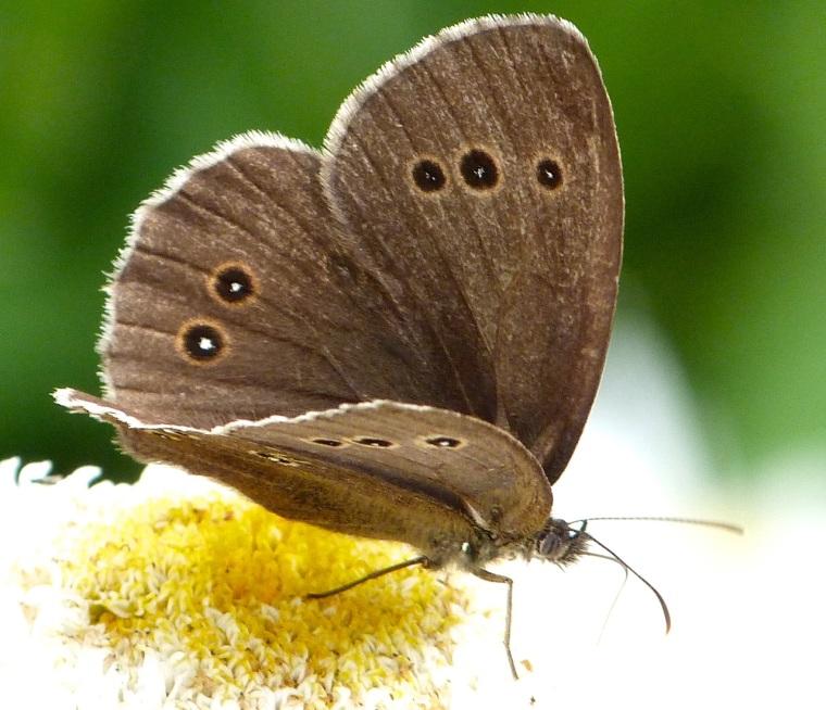 Ringlet Butterflies, Oxburgh Hall 6