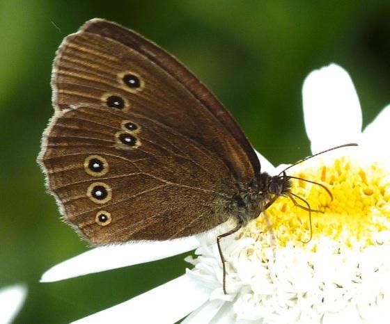 Ringlet Butterflies, Oxburgh Hall 7