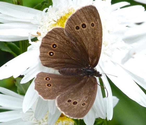 Ringlet Butterflies, Oxburgh Hall 8
