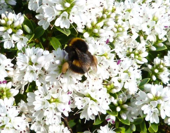 White-tailed Bumblebee Dorset 1