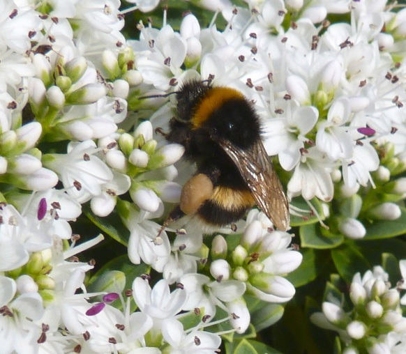 White-tailed Bumblebee Dorset 2