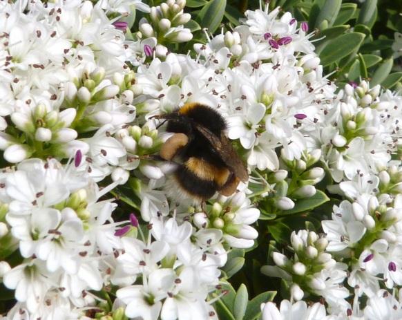 White-tailed Bumblebee Dorset 3