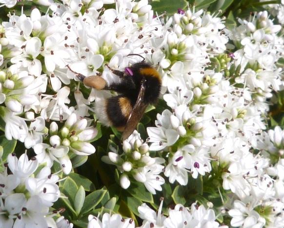 White-tailed Bumblebee Dorset 4