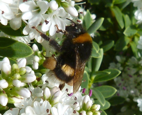 White-tailed Bumblebee Dorset 5