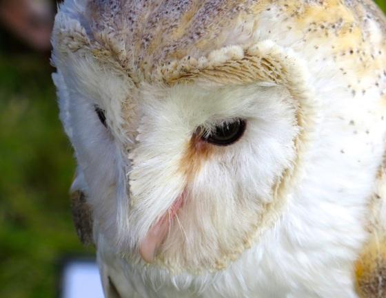 Barn Owl Dorset 1