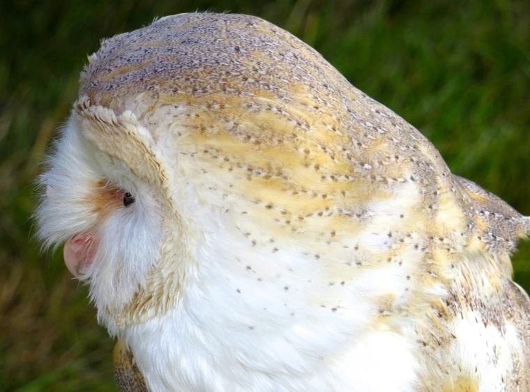 Barn Owl Dorset 2