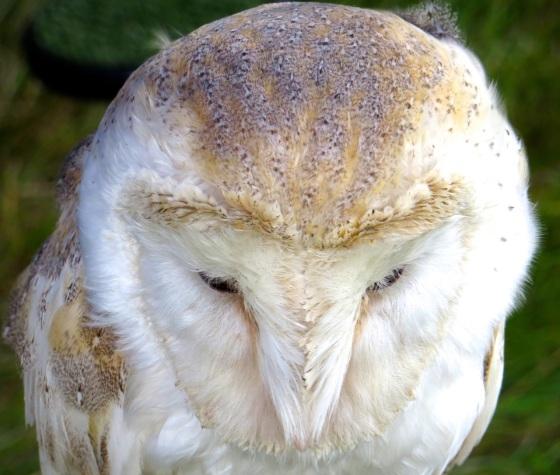 Barn Owl Dorset 3