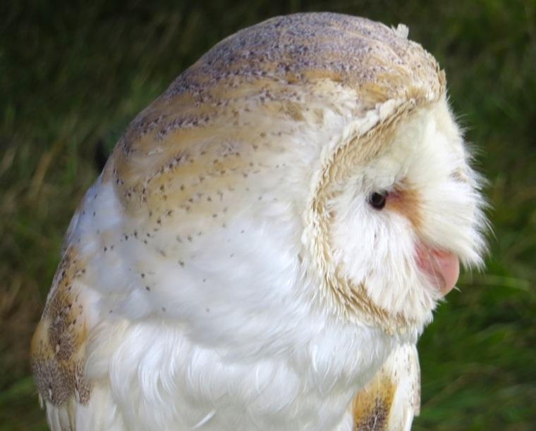 Barn Owl Dorset 4