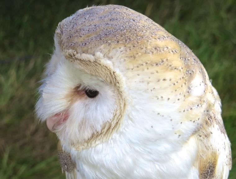 Barn Owl Dorset 5