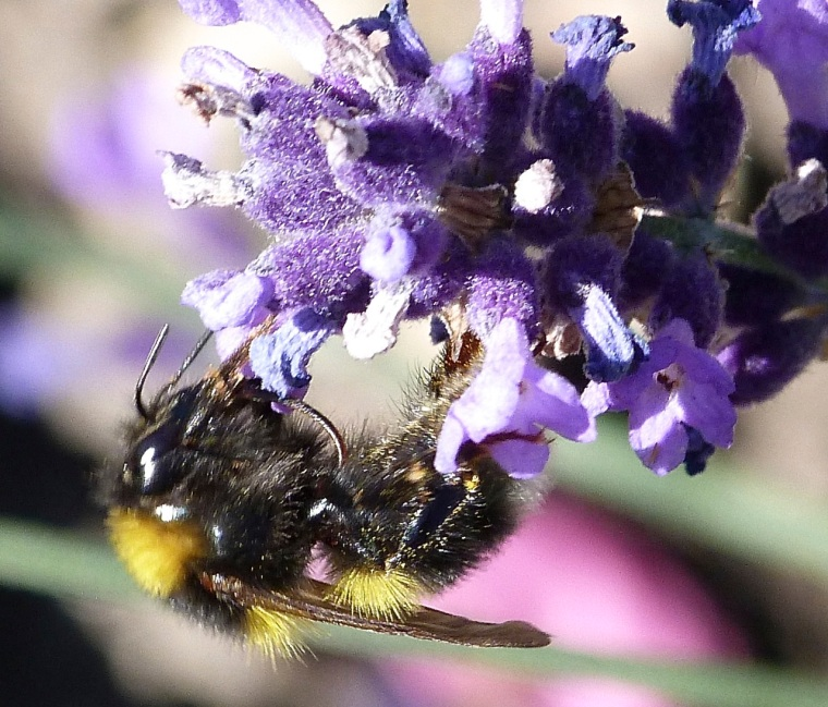 Bumble bee on lavender  Dorset