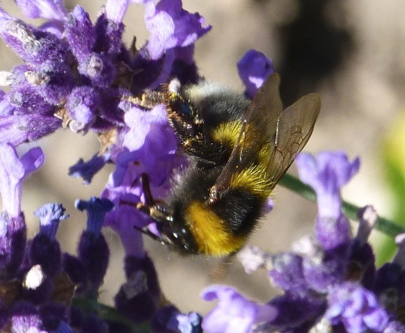 Bumble bee on lavender - Dorset