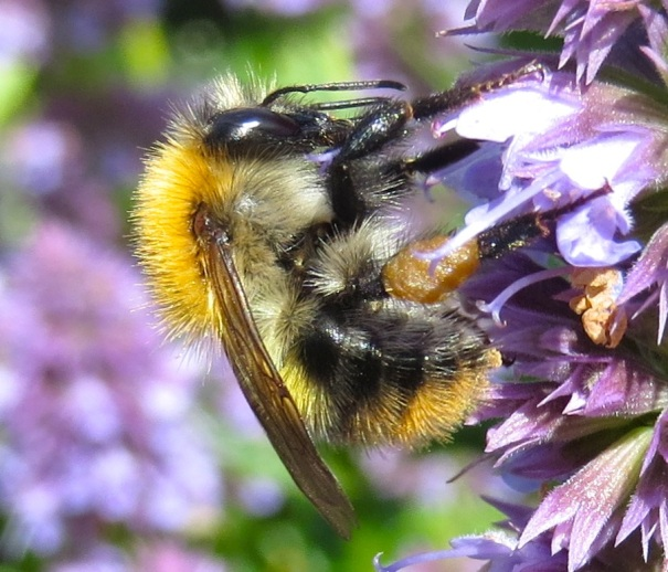 Bumblebee Dorset - Close-up