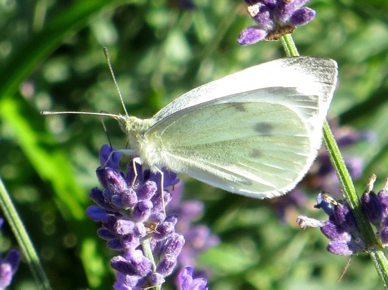 Cabbage White Buttefly feeding on lavender