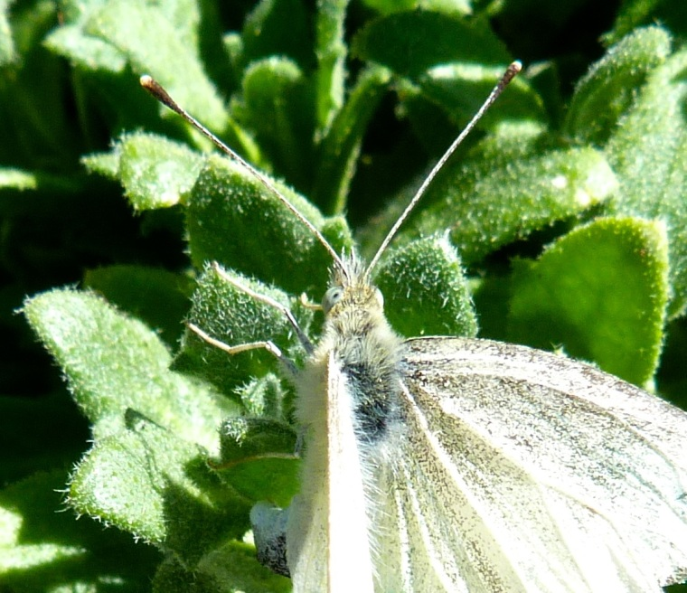 Cabbage White Butterfly Detail