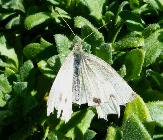 Cabbage White Butterfly - Dorset