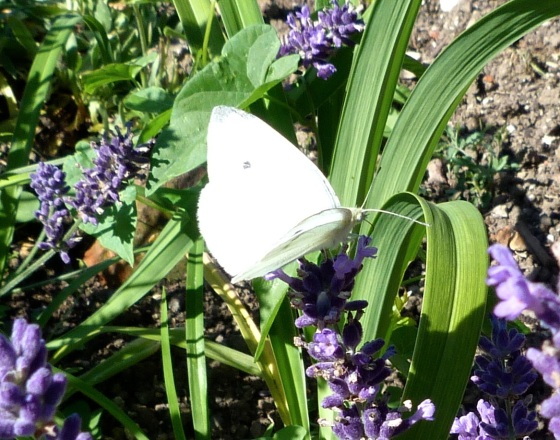Cabbage White Butterfly feeding on lavender